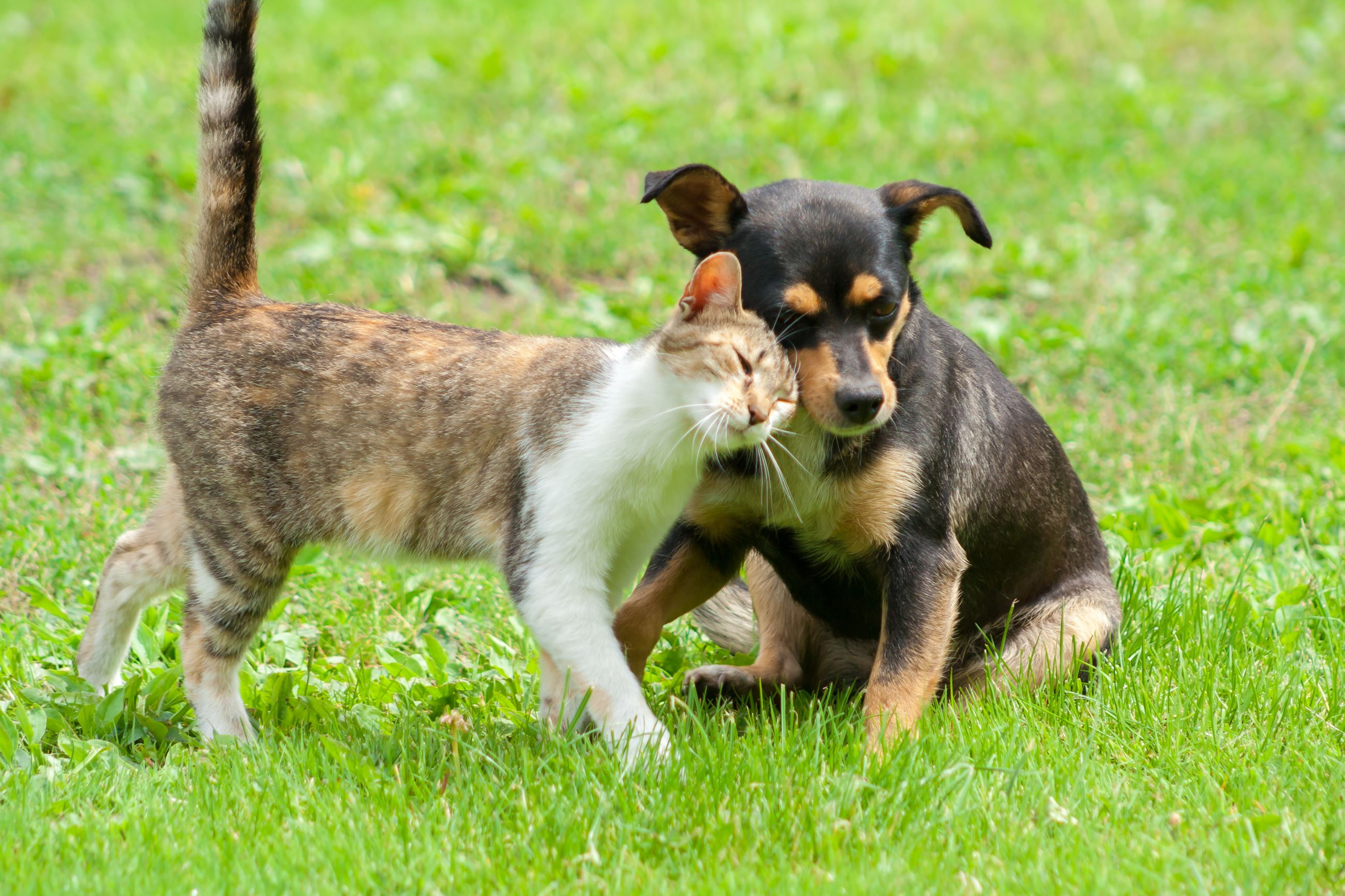 Dog and cat rubbing their heads together while sitting on a grass lawn