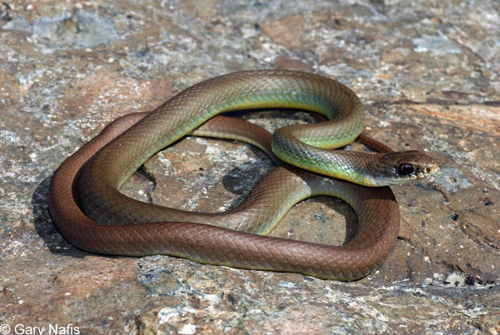 Yellow-Bellied Racer, Gary Nafis Snake
