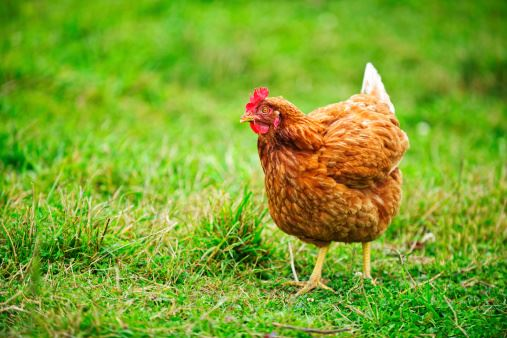 Chicken standing on a grass lawn