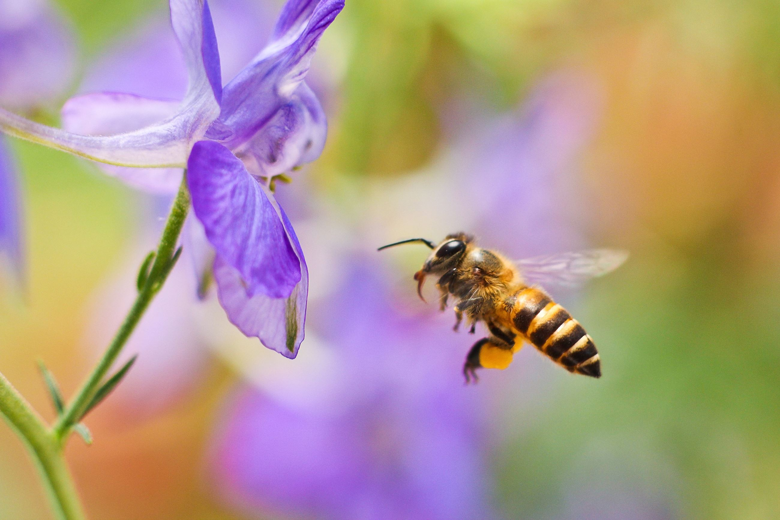 Bee flying next to a purple flower